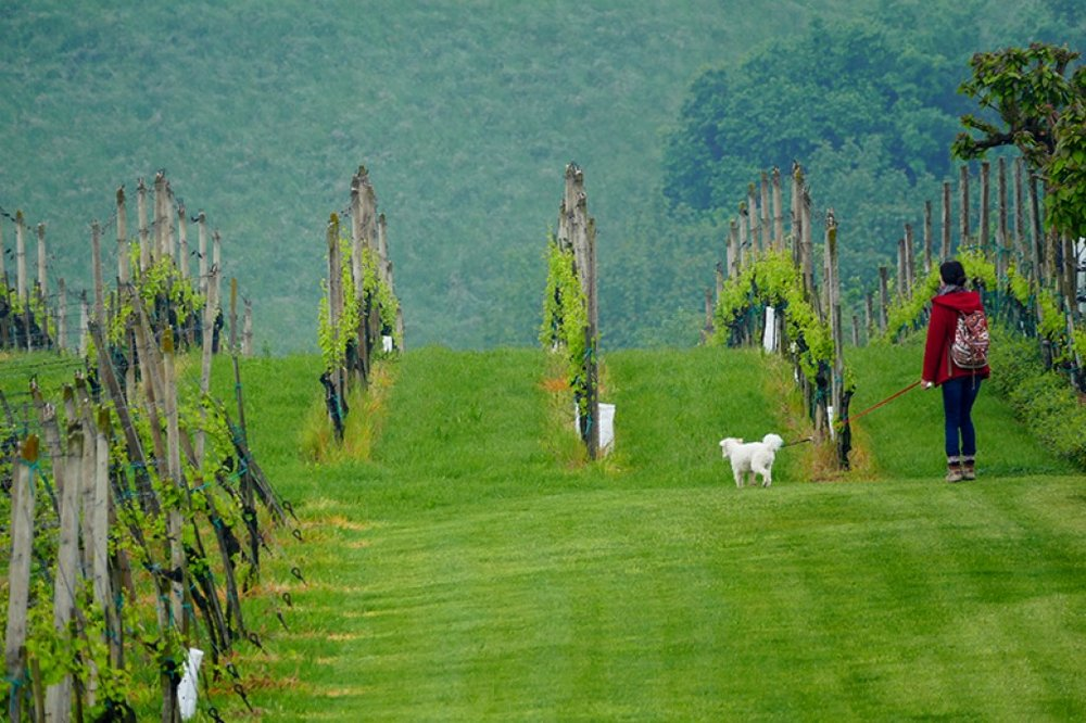 Green vineyard rows.jpg