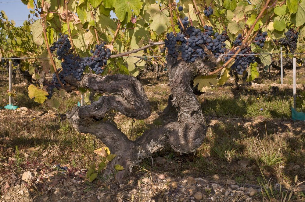 Old Malbec vines Ch Pineraie.jpg