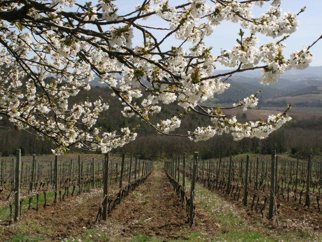 Domaine Begude blossoming tree and vines.jpg