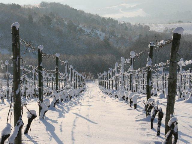 Vineyard in winter.jpg