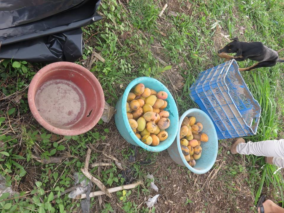Fruit waist to make the compost.jpg