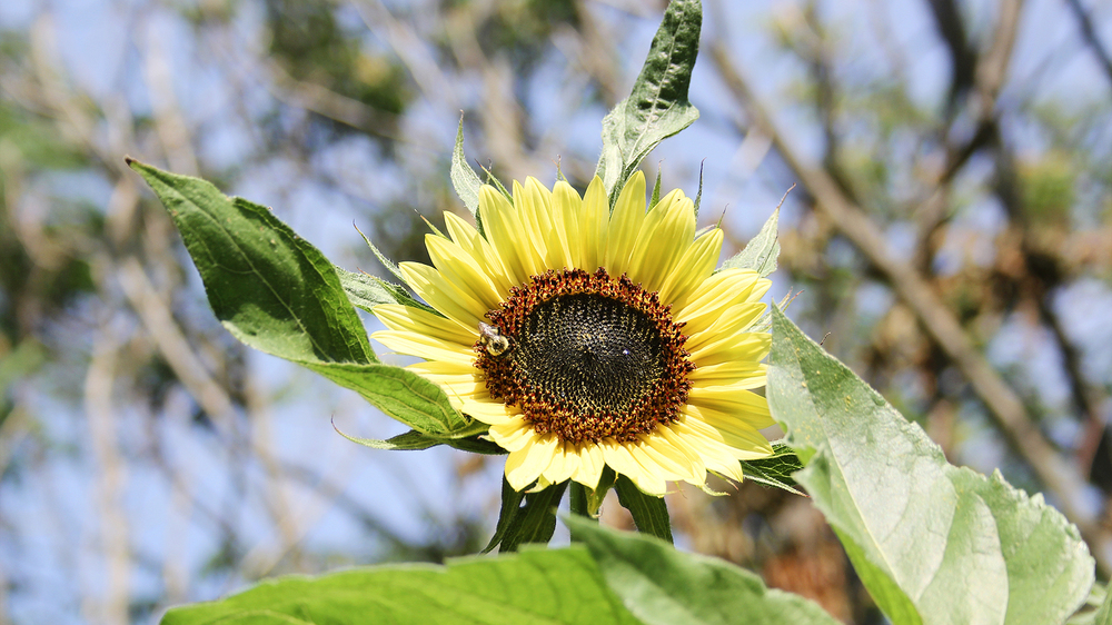 Liesl Made : Lemon Queen Sunflower