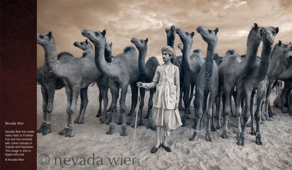 Camels-of-Rajasthan-nevada-wier.jpg