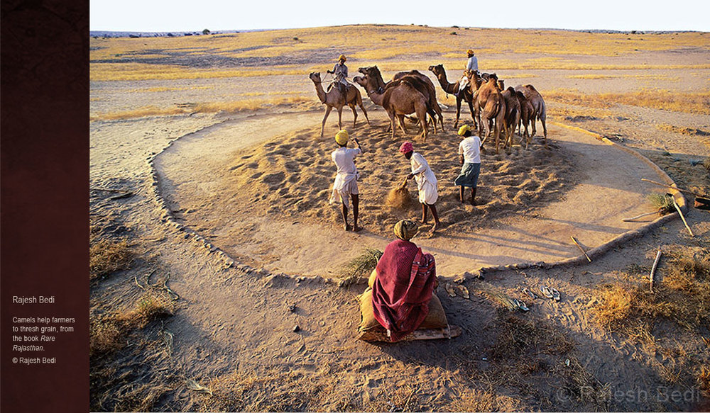 Camels-of-Rajasthan-threshing-grain-rajesh-bedi.jpg