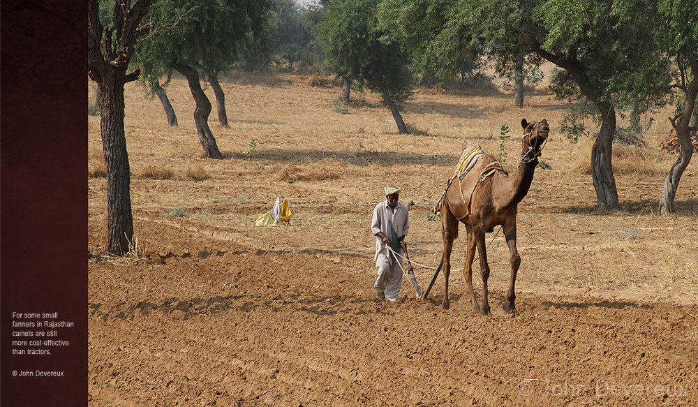 Camels-of-Rajasthan-camel-ploughing.jpg