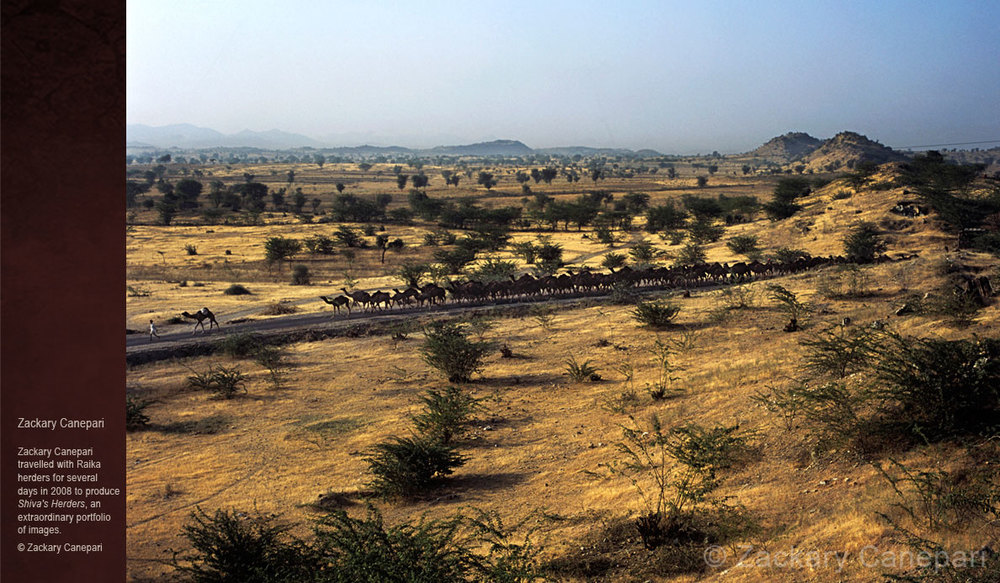 Camels-of-Rajasthan_zackary-canepari.jpg