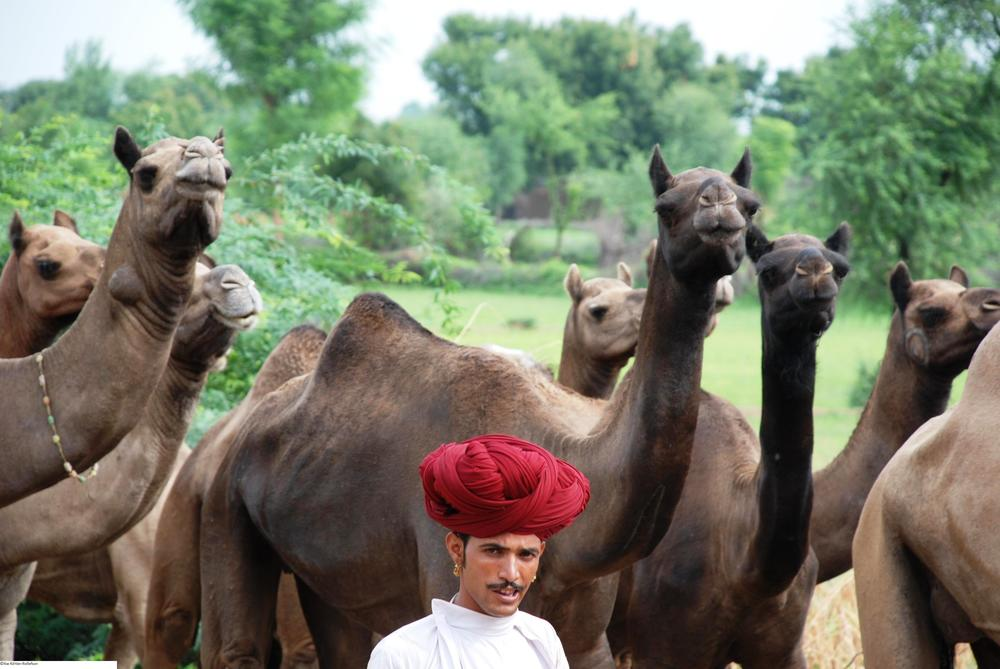 Bhanwarlal Raika and his camel herd.jpg