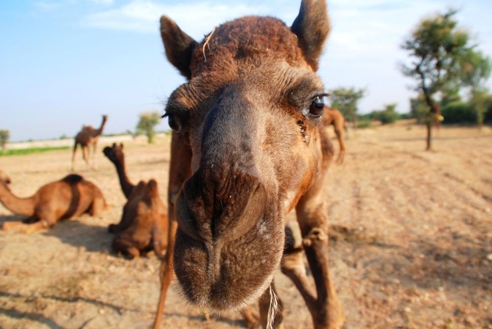 A camel kiss threatens!.jpg