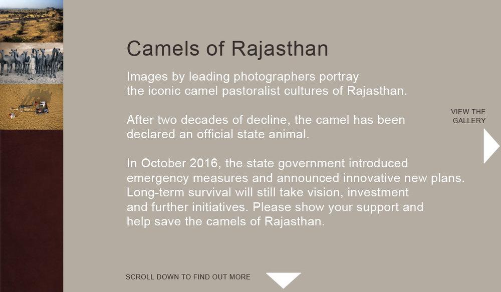 Camels-of-Rajasthan.jpg