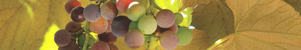 grapevines_banner.jpg