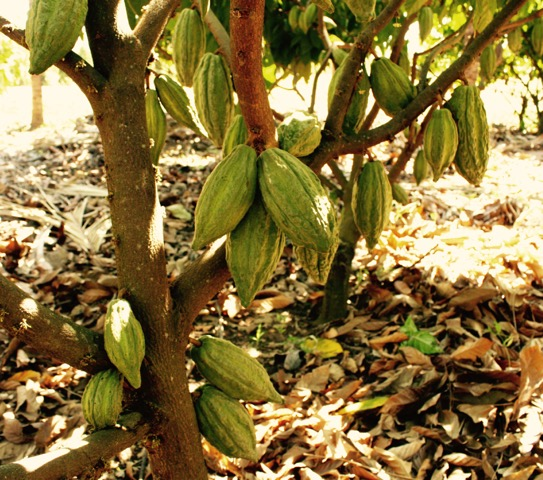 Tree & pods VAIcacao