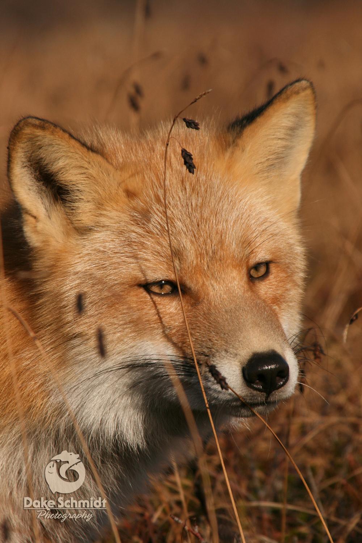 Karluk Fox
