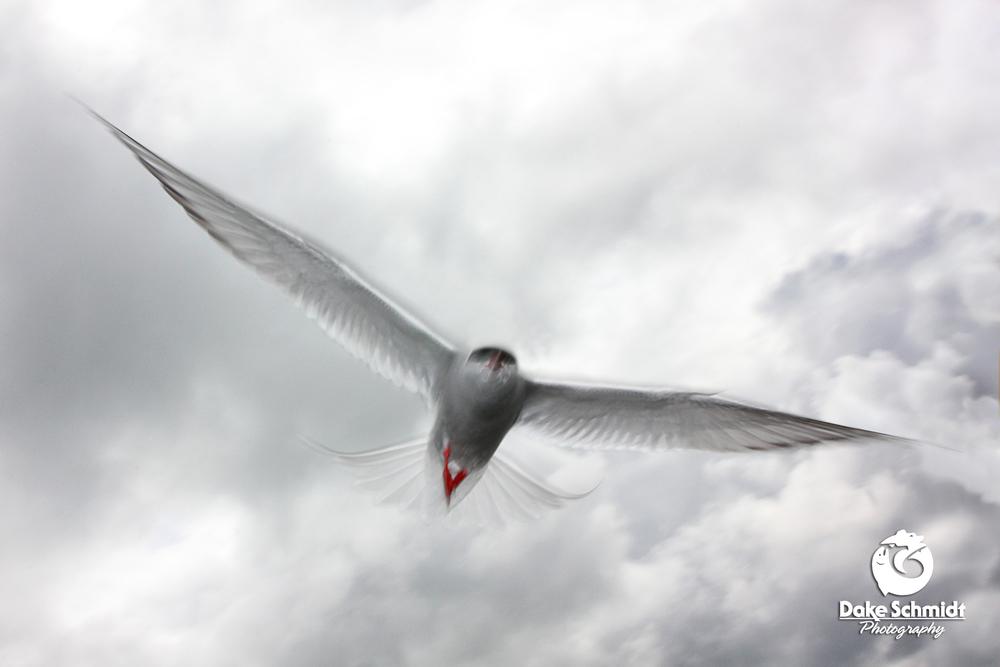 Dramatic Tern.jpg