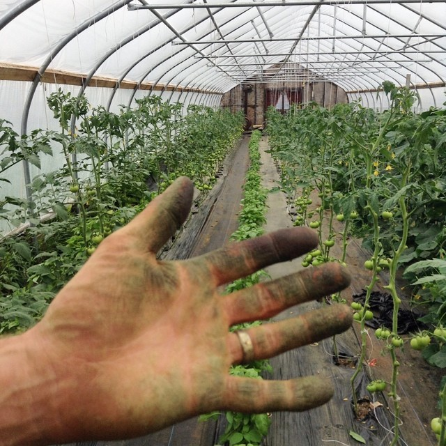 Ever wondered why farmers have green thumbs? They've been pruning their tomatoes of course!! Green hand courtesy of Sam the farm manager.