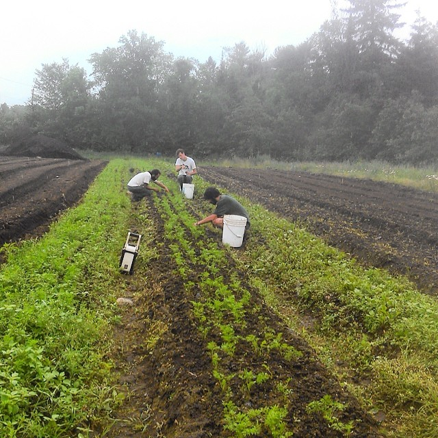 It's raining but that doesn't stop Micah, Sam, or ,Bridger from weeding the carrots!
