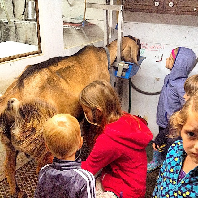 The first round of Woodland School Farm Camp kids giving milking a goat a try!