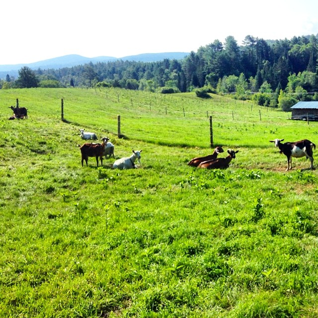 The goats have the right idea on the hot sunny day... Lay down and rest. :-)