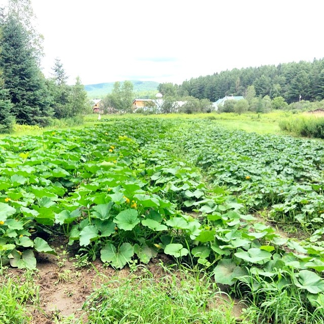 Now this is what I would call a field of winter squash! :-)