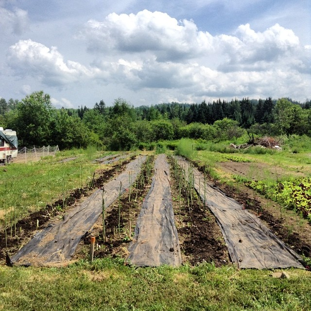 Success at last! The asparagus patch has been weeded and composted and left to go to seed for the season.