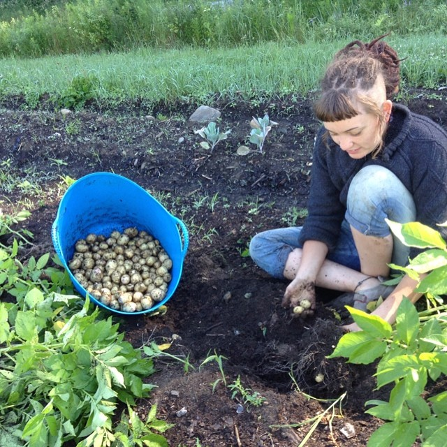 Our new WWOOFER, Nolwenn, digging new potatoes.  Originally from France, she's lived it the States for a couple years and has worked on a few farms in Vermont .