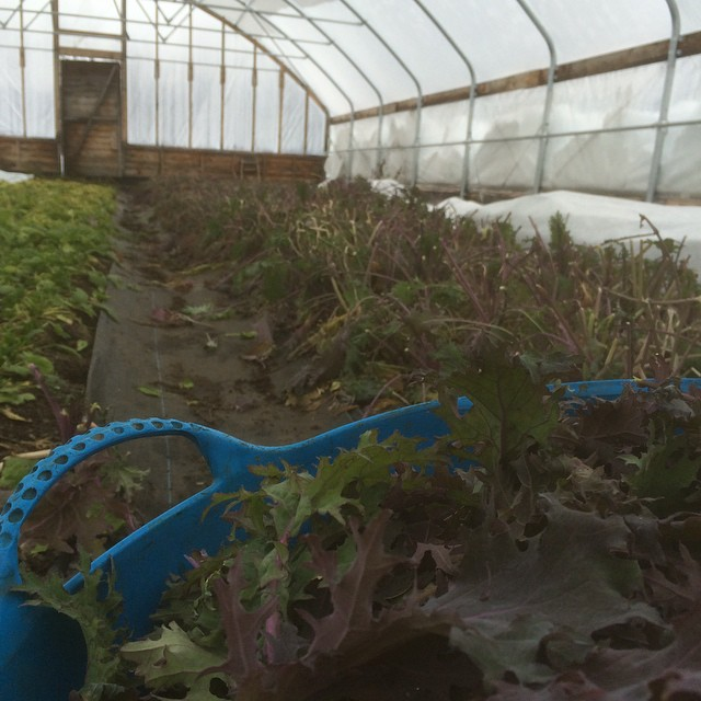 The last time we pick kale in 2014. The latest we've ever pick greens!  Check out the snow on the side of the greenhouse!  Merry Christmas everybody.