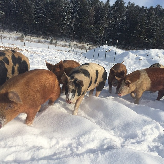 The pigs enjoying their own sort of powder day on this 15 below morning.