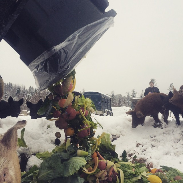 The pigs and chickens waiting for the produce scraps from the Littleton COOP. Last year we collected over 50,000lbs of food scraps from local businesses!  After the animals pick through it, it goes into the compost. More soil and less landfill waste.  What's not to like?