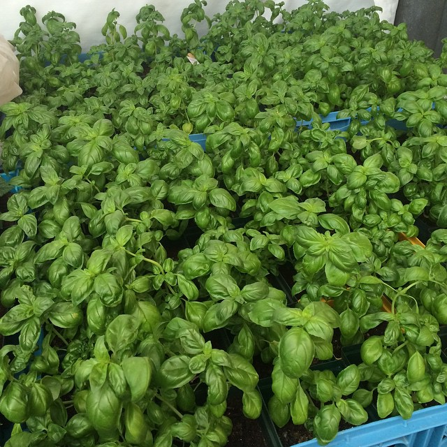 Oh the smell of basil!