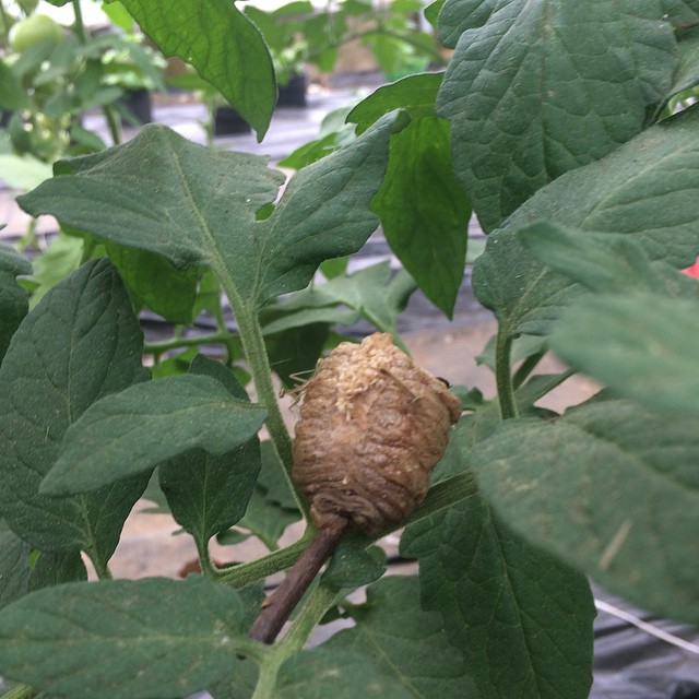 A praying mantis exits the cocoon to discover a greenhouse full of tomato plants!