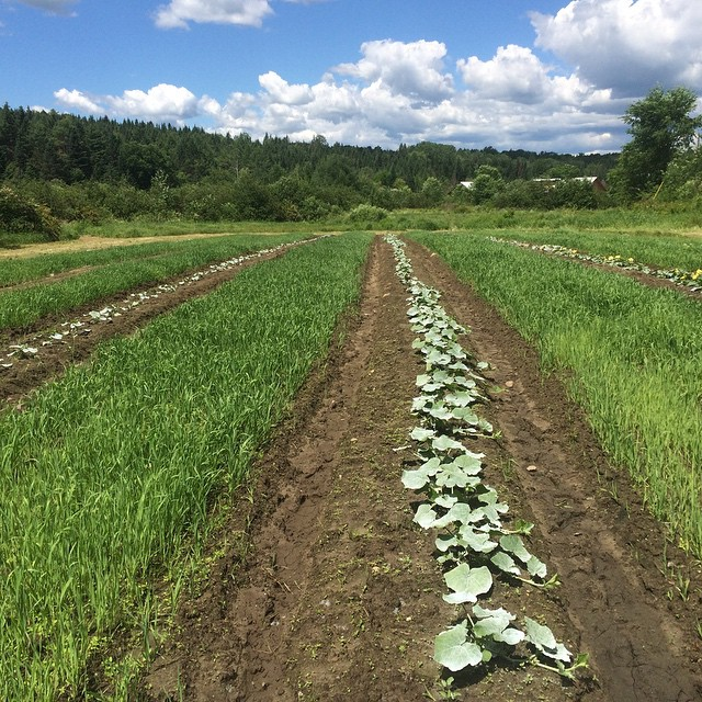 Our winter squash growing between a cover crop of oats and covered with a white clay to help keep the insects off.