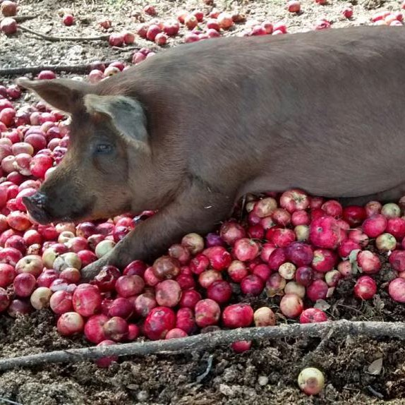 Pigs loving the arrival of fall!