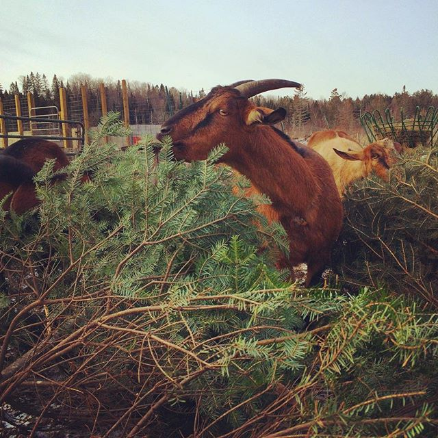 Goats enjoying a post Christmas treat courtesy of Finnegans Firs. They love Christmas trees so bring yours by and let them go to town. Happy Holidays to all.