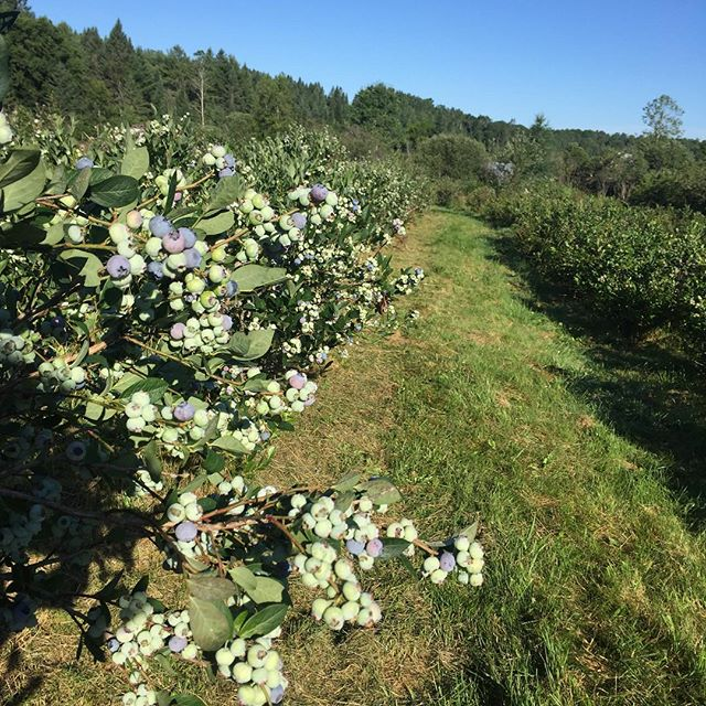 Blueberries are turning and we will be open for u-pick this Saturday, 7/30!