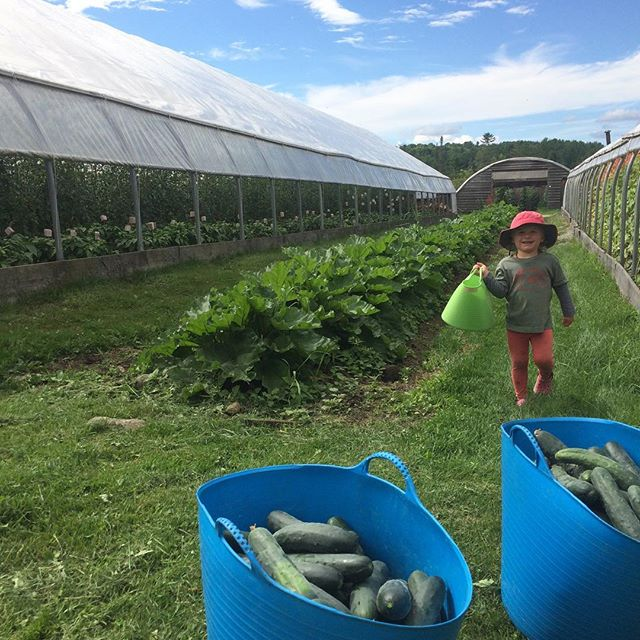 Cuke harvest making its way in to get washed.