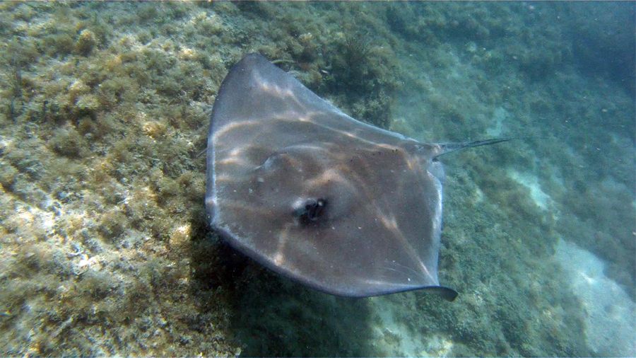 Southern Stingray -  Key West, FL