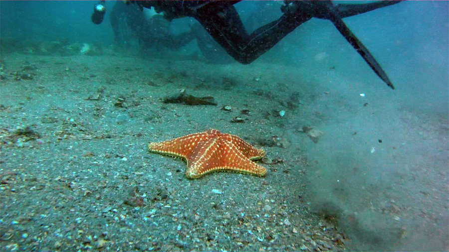 Sea Star and Scuba Divers -  Phil Foster Park, Riviera Beach, FL