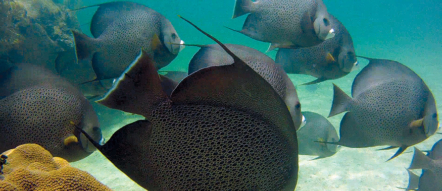 French Angelfish -  Chica Rocks, Islamorada, FL