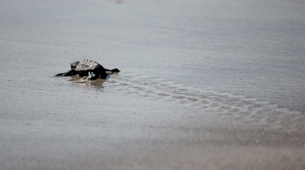 Baby Sea Turtle -  Cocoa Beach, FL