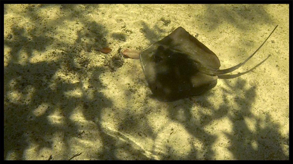 Stingray in a tidal creek.
