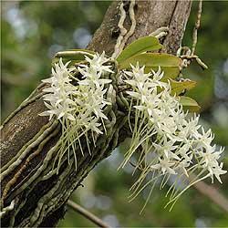 Mystacidium capense.JPG
