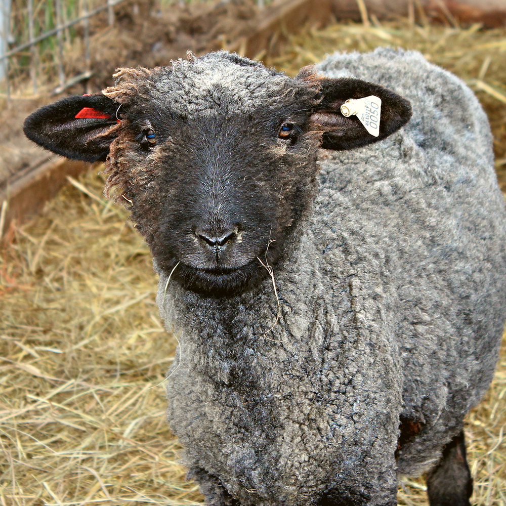 One of our Registered Romney Sheep.