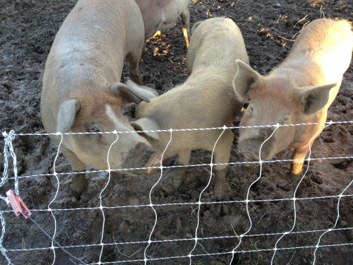Three heritage breed pigs