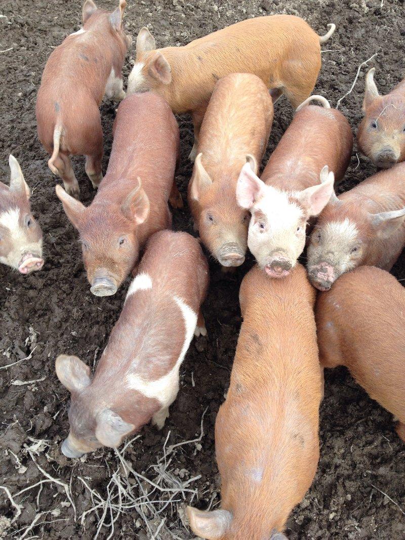 Duroc-Berkshire cross piglets