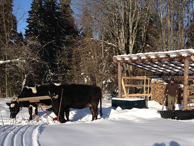 Z-winter-oxen