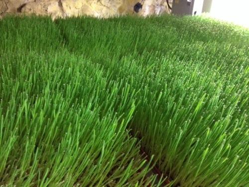 green fodder