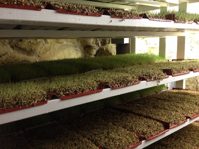 Rack of fodder growing in many trays