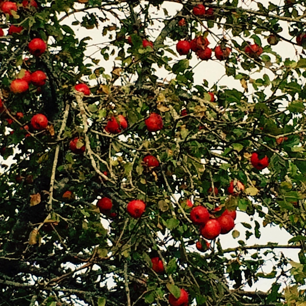 Wild apples load the tree