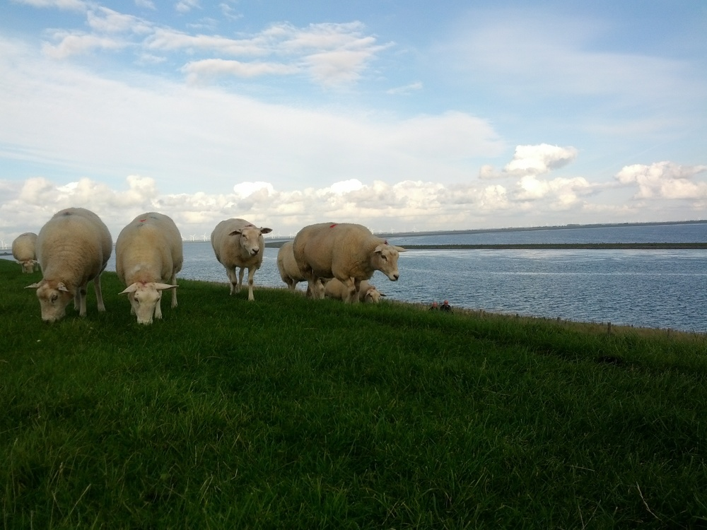 nordstrand-sheep.jpg