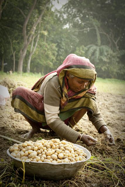 Woman working in a potato field