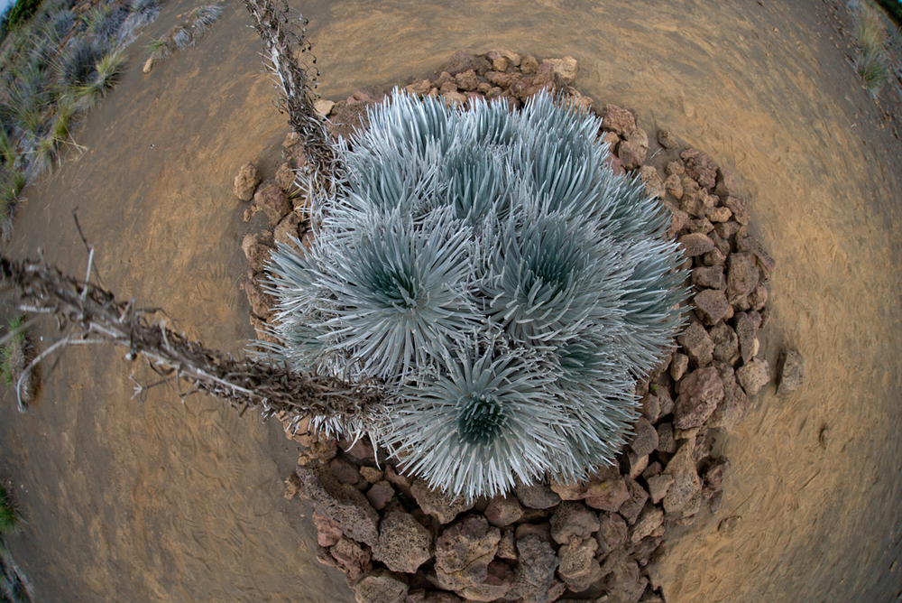 Mauna Kea Silversword (Argyroxiphium Sandwicense) seen from above